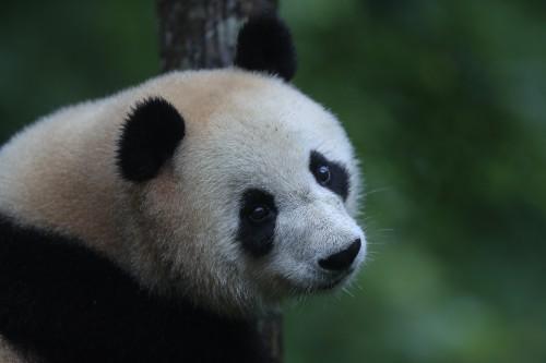 构建大熊猫生态文化输出新阵地,佛坪熊猫谷与网易公司首次展开合作 图3
